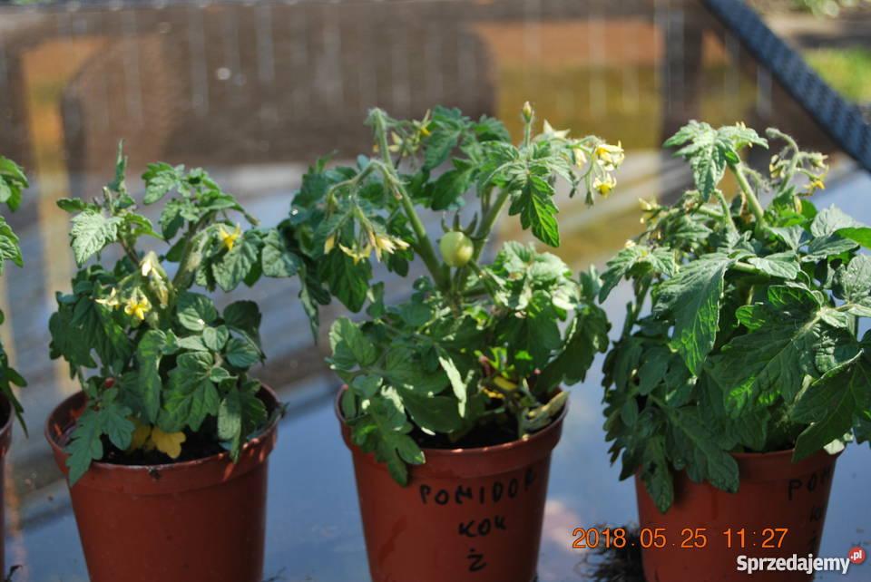 sadzonki pomidorów koktajlowych