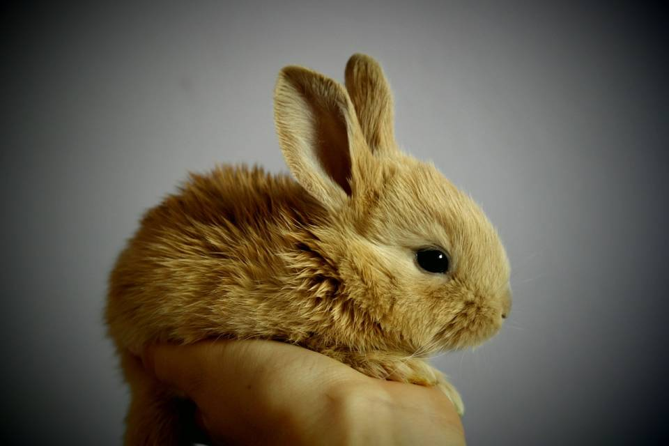Jak przygotować dom do przyjęcia królika miniaturki?