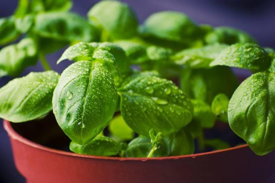 Jakie zioła sadzić w domu? Uprawa ziół w doniczkach