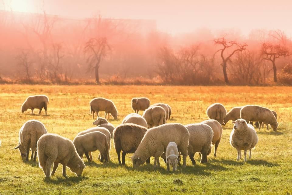 Produkcja zwierzęca - owce, kozy, a może alpaki? Co jest bardziej dochodowe?