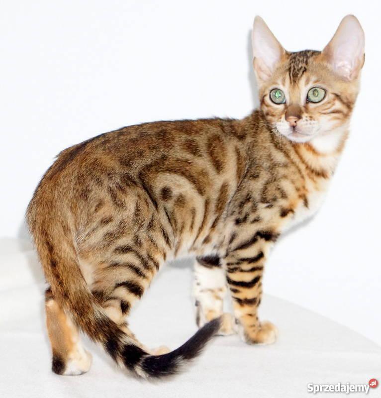 Kotek szybko przywiązuje się do nowych właścicieli